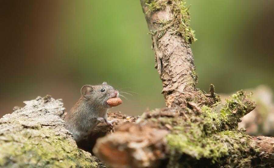 Чем питаются мыши в дикой природе и домашних условиях?