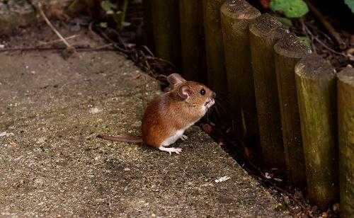 Чем питаются мыши в дикой природе и домашних условиях? 2