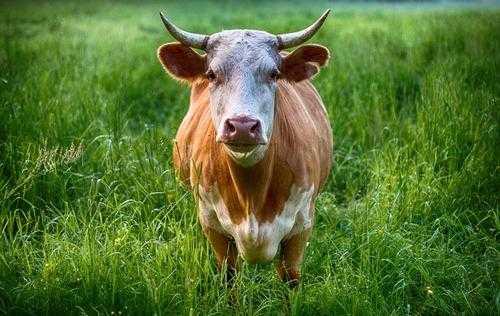 В каких странах мира какие животные считаются священными? 2
