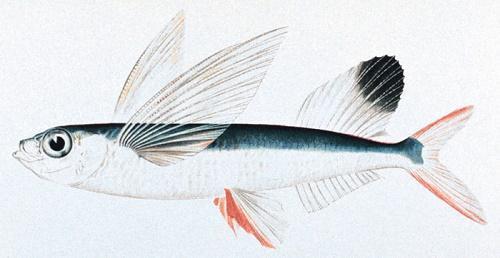 Летающие рыбы: название, описание, фото и видео 2