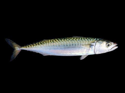 Промысловые виды рыб: названия, фото и характеристика 21