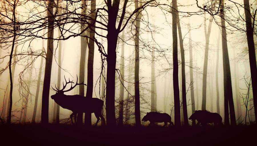 Животный мир хвойных лесов