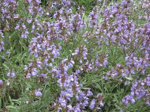 Какие растения растут в степной зоне - названия, фото и характеристика 11