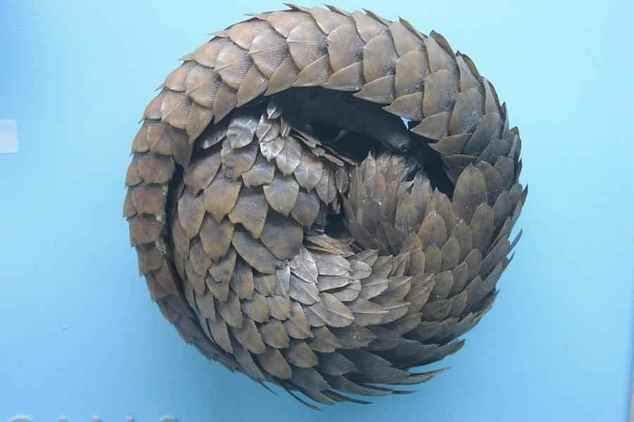 Панголин: краткое описание и фото чешуйчатого млекопитающего 2