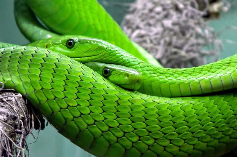 Змея – описание, характеристика, строение. Где обитают, чем питаются, как размножаются змеи в природе? Виды и названия змей с фотографиями и описанием. Ядовитые и неядовитые змеи: список