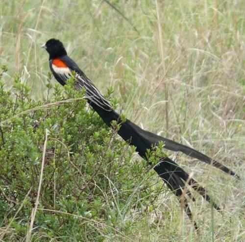 ТОП 25 самых редких видов птиц на планете - названия, описания и фото 11