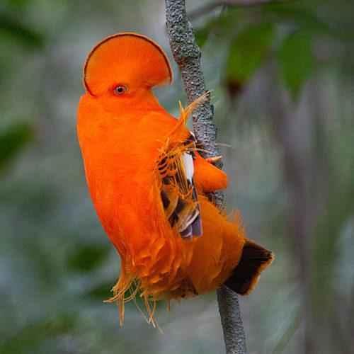 ТОП 25 самых редких видов птиц на планете - названия, описания и фото 18