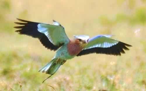 ТОП 25 самых редких видов птиц на планете - названия, описания и фото 16