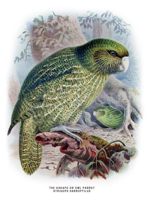 ТОП 25 самых редких видов птиц на планете - названия, описания и фото 7