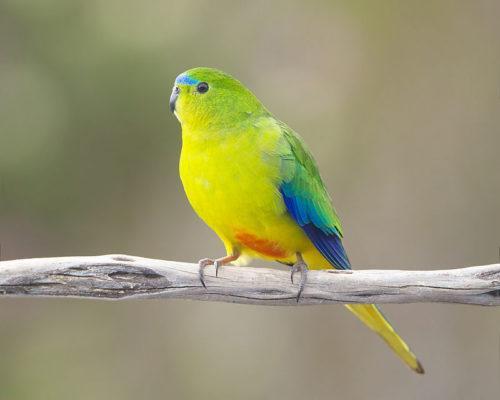 ТОП 25 самых редких видов птиц на планете - названия, описания и фото 8