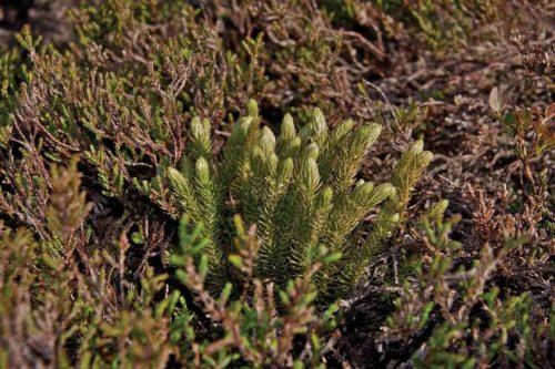 Редкие растения из Красной книги Ставропольского края — список, характеристика и фото 10