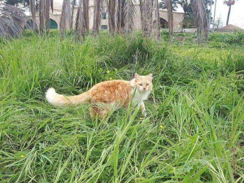 Самые редкие породы кошек - список, характеристика и фото 8