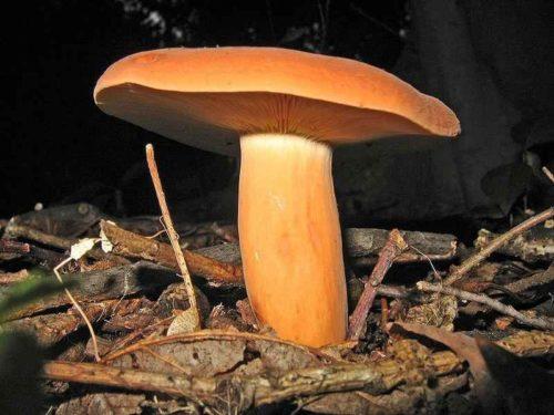 Редкие растения и грибы из Красной книги Пермского края — список, характеристика и фото 17