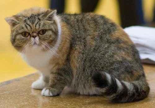 ТОП 10 самых популярных пород кошек - список, характеристика и фото 10