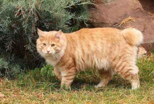 Русские породы кошек - список, характеристика и фото 5