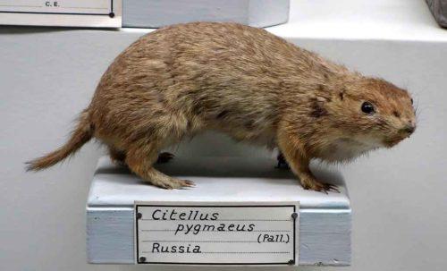 Редкие животные из Красной книги Ставропольского края  — список, характеристика и фото 3