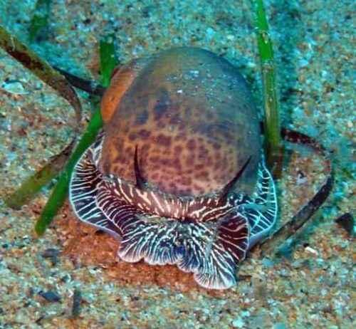 Класс гастроподы: описание, типы, особенности и фото брюхоногих моллюсков 7