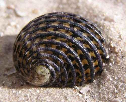 Класс гастроподы: описание, типы, особенности и фото брюхоногих моллюсков 10