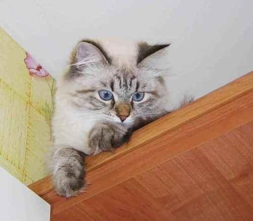 ТОП 10 самых популярных пород кошек - список, характеристика и фото 6