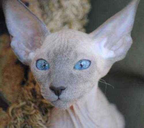 Русские породы кошек - список, характеристика и фото 6