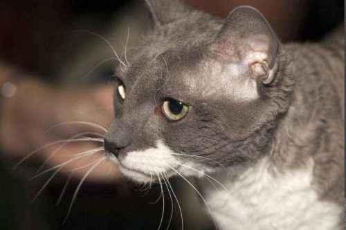 Русские породы кошек - список, характеристика и фото 7
