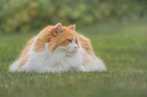 ТОП 10 пушистых пород кошек - список, характеристика и фото 6