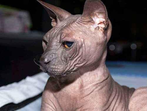Русские породы кошек - список, характеристика и фото 4