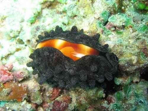 Класс гастроподы: описание, типы, особенности и фото брюхоногих моллюсков 9