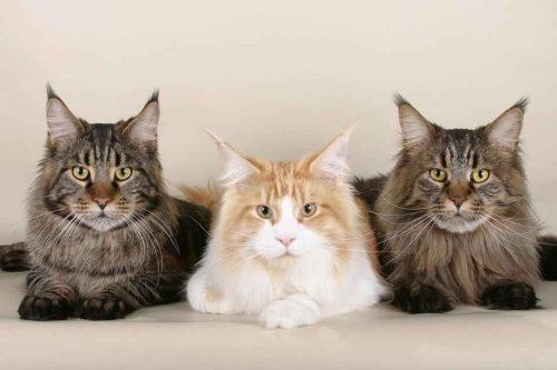 ТОП 10 самых популярных пород кошек - список, характеристика и фото 4