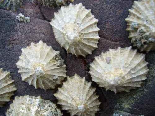 Класс гастроподы: описание, типы, особенности и фото брюхоногих моллюсков 8