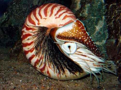 Класс цефалоподы: описание, типы, особенности и фото головоногих моллюсков 2