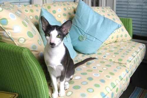 ТОП 10 самых популярных пород кошек - список, характеристика и фото 8
