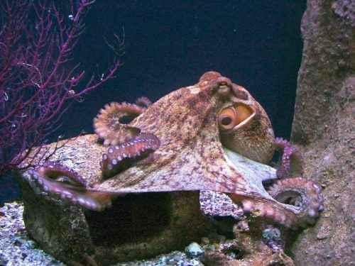 Класс цефалоподы: описание, типы, особенности и фото головоногих моллюсков 3