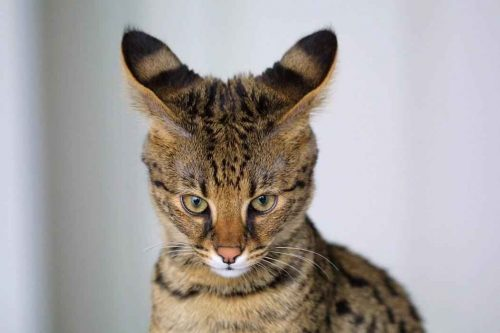 ТОП 6 самых дорогих пород кошек — список, характеристика и фото 2