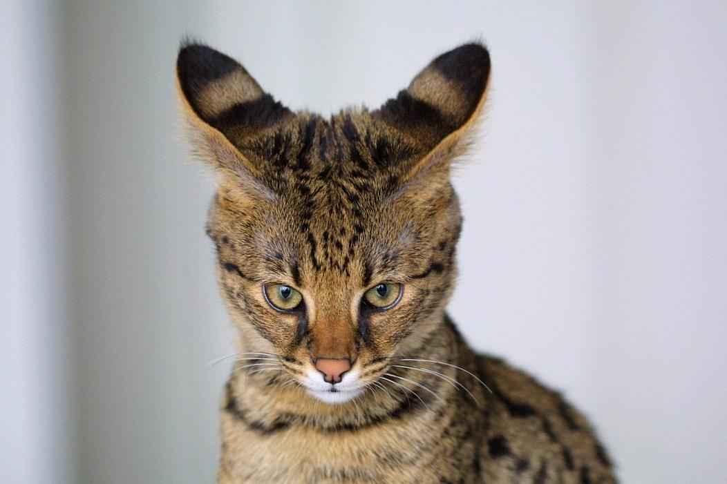 коты редких пород фото эпитеты
