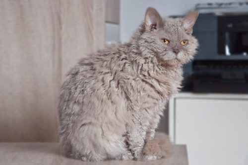 ТОП 10 пушистых пород кошек - список, характеристика и фото 10