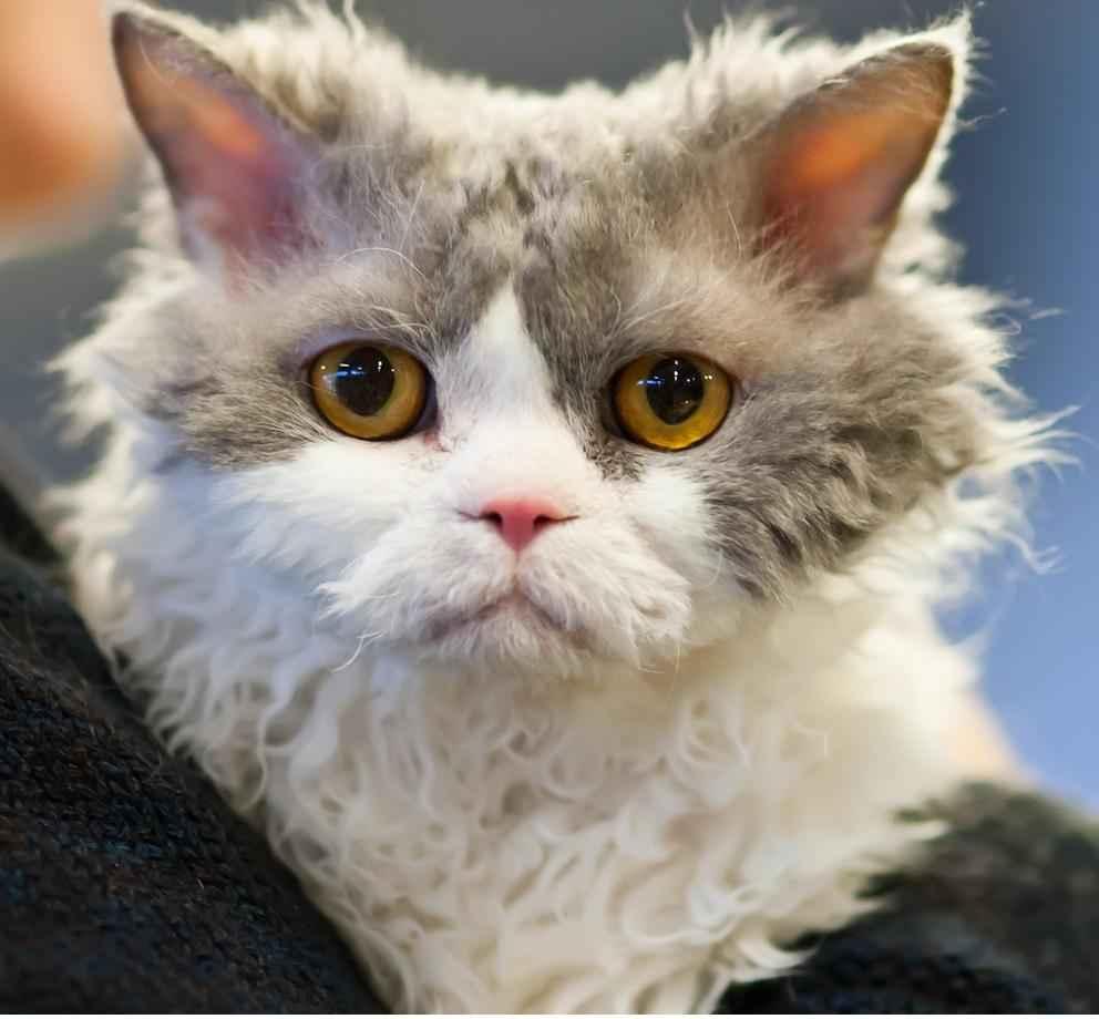 виртуальную кудрявый кот фотографии сегодня