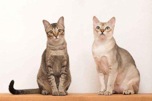 ТОП 6 самых дорогих пород кошек — список, характеристика и фото 5