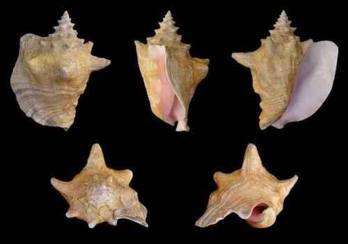 Класс гастроподы: описание, типы, особенности и фото брюхоногих моллюсков 4