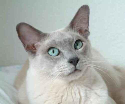 Самые редкие породы кошек - список, характеристика и фото 6