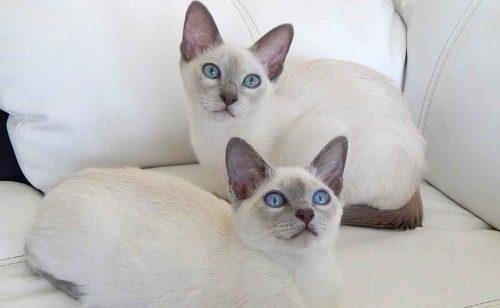 Самые красивые породы кошек - список, характеристика и фото 8