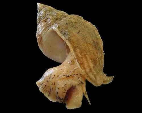 Класс гастроподы: описание, типы, особенности и фото брюхоногих моллюсков 6