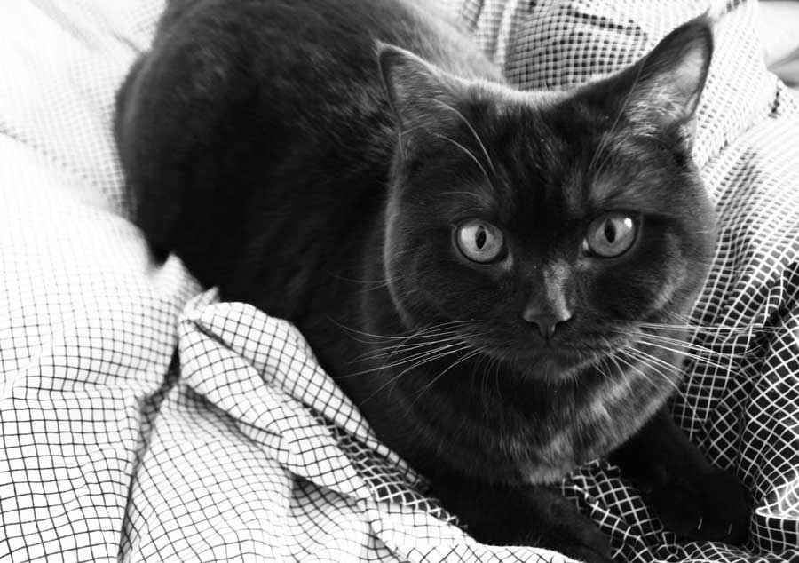 ТОП 11 пород кошек с чёрным окрасом — список, характеристика и фото 3