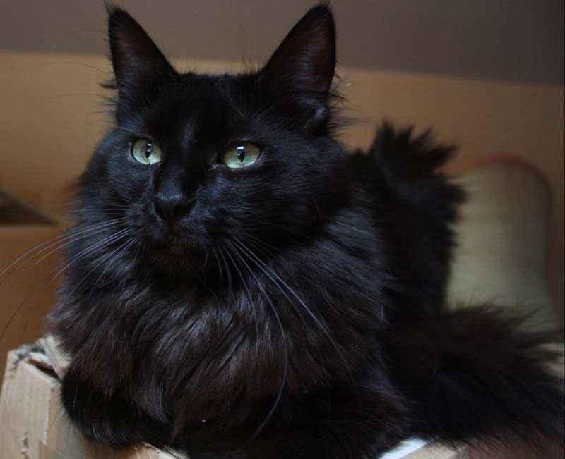 ТОП 11 пород кошек с чёрным окрасом — список, характеристика и фото 10