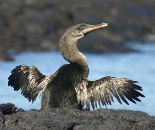 Нелетающие и бескилевые птицы - примеры, характеристика и фото 9