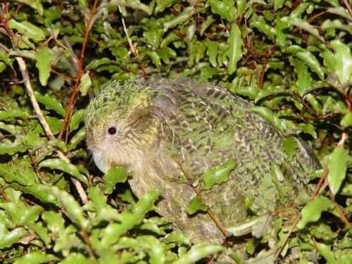 Нелетающие и бескилевые птицы - примеры, характеристика и фото 8