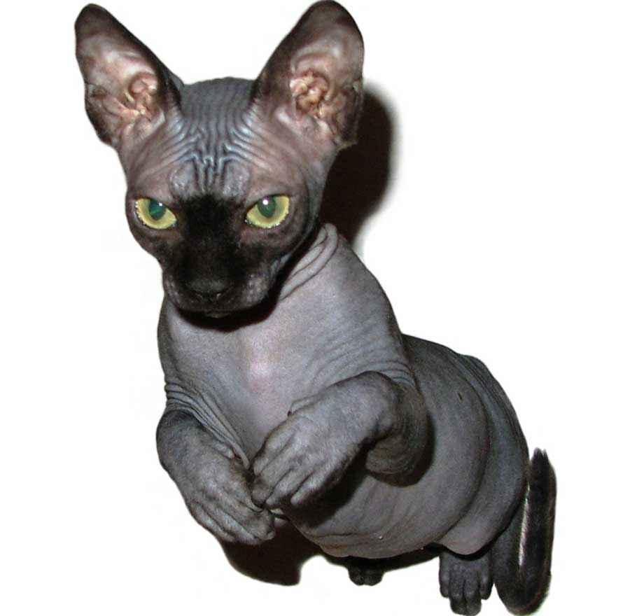 ТОП 11 пород кошек с чёрным окрасом — список, характеристика и фото 9