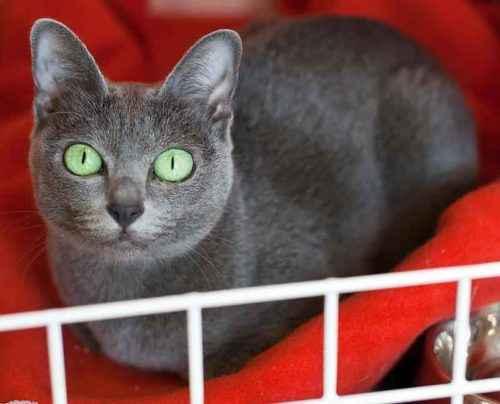 ТОП 6 пород кошек с голубым или дымчатым окрасом шерсти — список, характеристика и фото 5