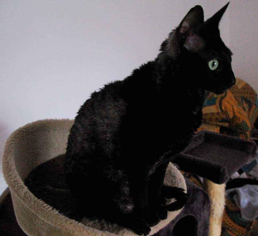 ТОП 11 пород кошек с чёрным окрасом — список, характеристика и фото 8