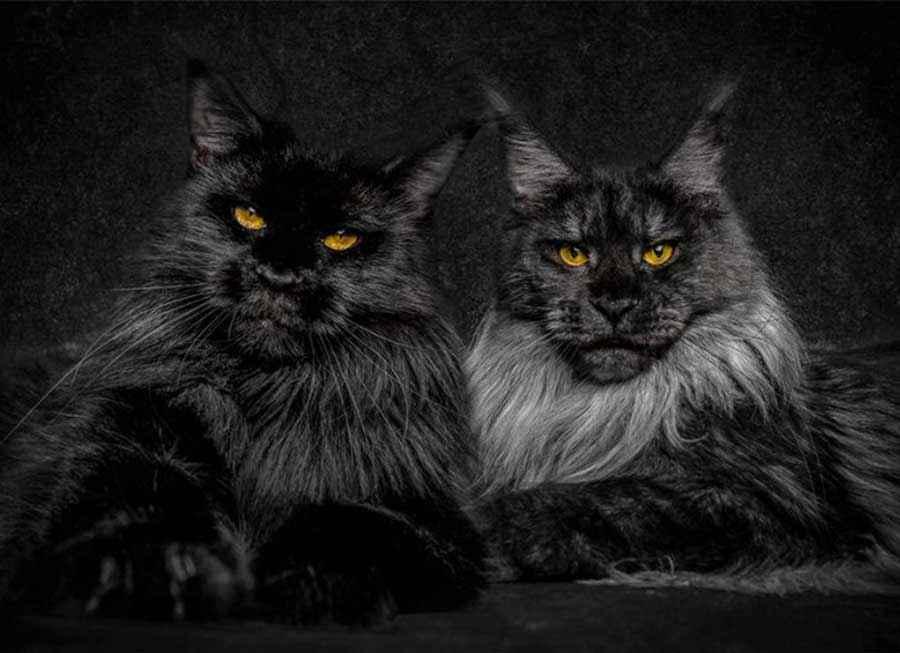 ТОП 11 пород кошек с чёрным окрасом — список, характеристика и фото 6